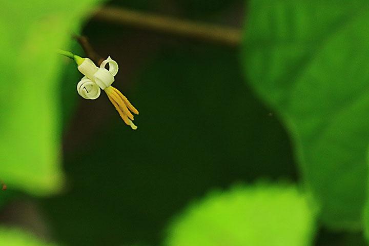 ウリノキ.jpg