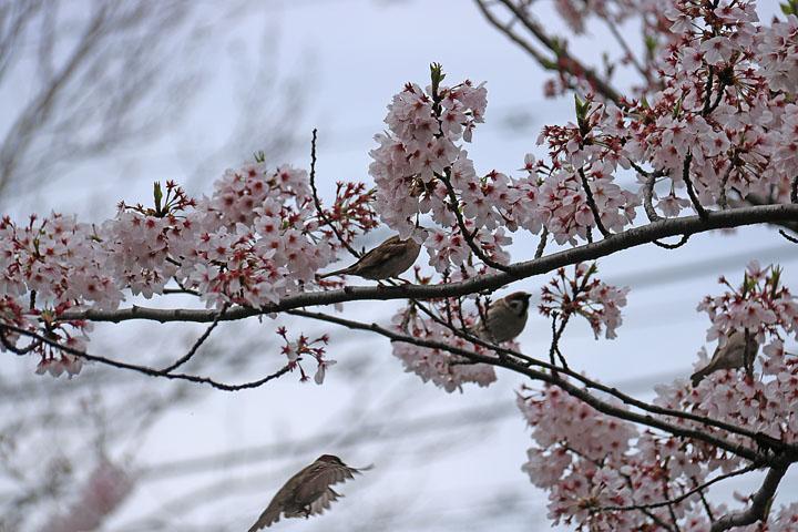 スズメと桜.jpg