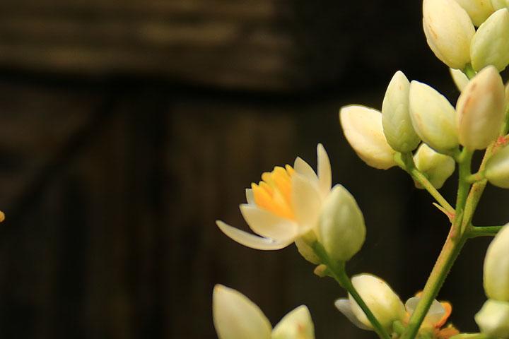 南天の花.jpg