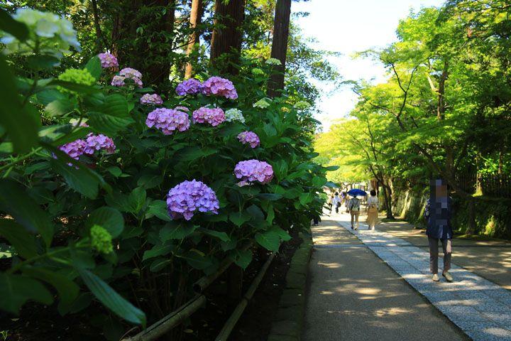 境内の紫陽花.jpg
