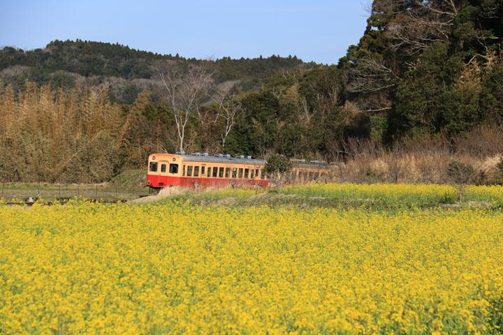 菜の花と電車5.jpg