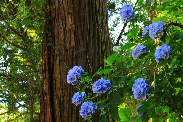 青い紫陽花.jpg